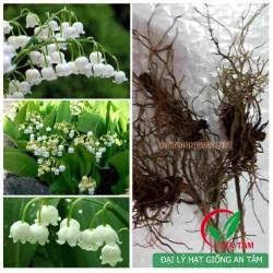 Củ hoa lan chuông (hoa linh lan) - rễ hoa