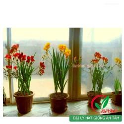 Củ hoa lan Nam Phi