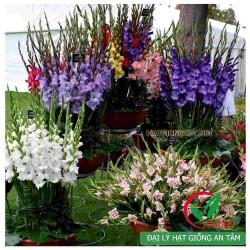 Củ hoa lay ơn (Hoa dơn)