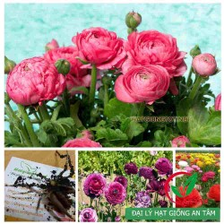 Củ hoa mao lương - hồng ri ba tư