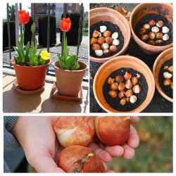 Hạt giống hoa tulip(Củ giống hoa tulip)