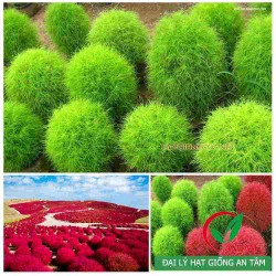 Hạt giống cỏ đổi màu