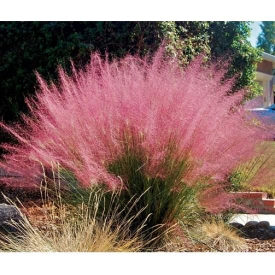Hạt giống cỏ lau hồng
