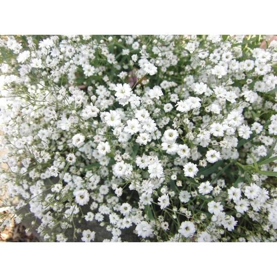 Hạt giống hoa baby trắng