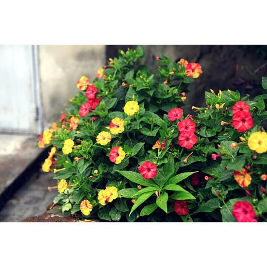 Hạt giống hoa bông phấn mix