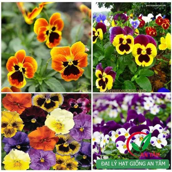 Hạt giống hoa bướm viola