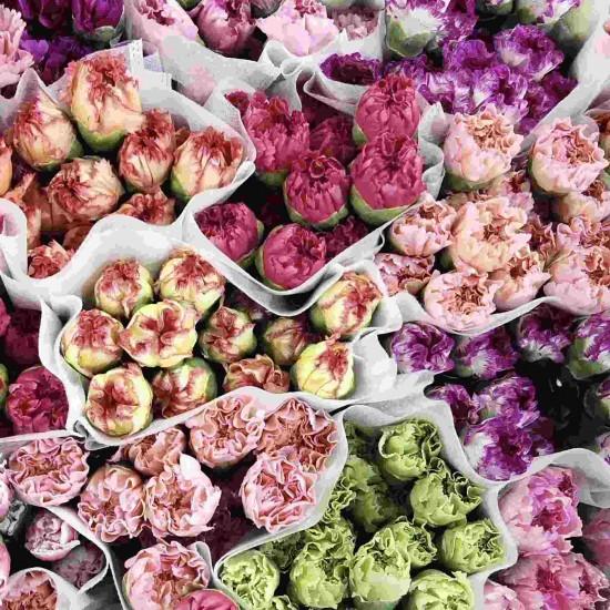 Hạt giống hoa cẩm chướng kép