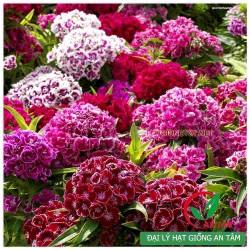Hạt giống hoa cẩm nhung