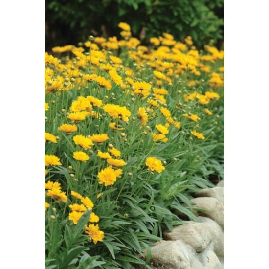 Hạt giống hoa cánh bướm vàng kép