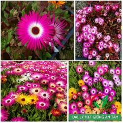 Hạt giống hoa cúc Mê Sa (Cúc cầu vồng)