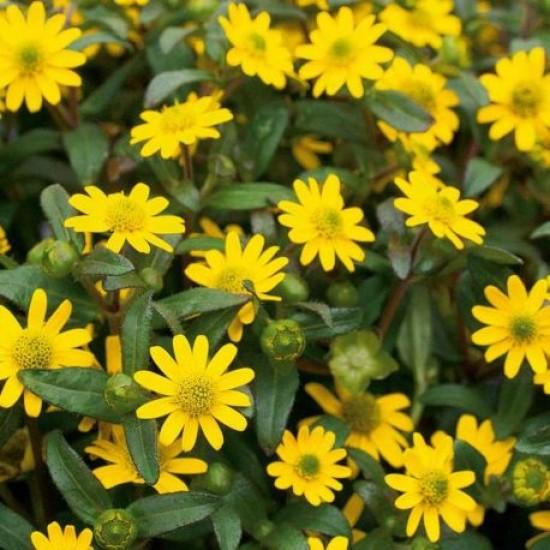 Hạt giống hoa cúc sao băng sanvitalia