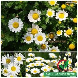 Hạt giống hoa cúc trắng