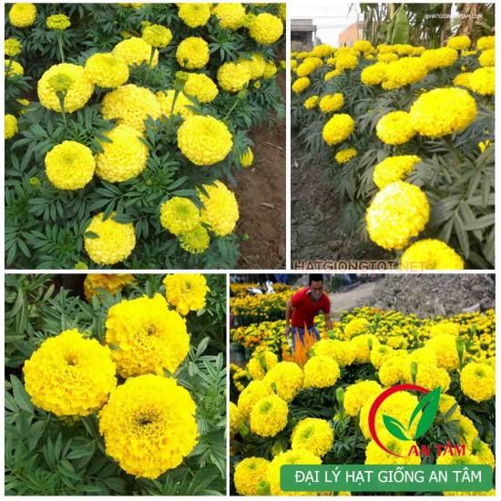 Hạt giống hoa cúc vạn thọ vàng chanh
