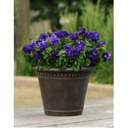 Hạt giống hoa dạ yến thảo kép f1