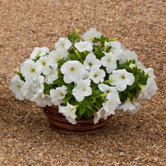 Hạt giống hoa dạ yến thảo rủ F1 nhập khẩu mix màu