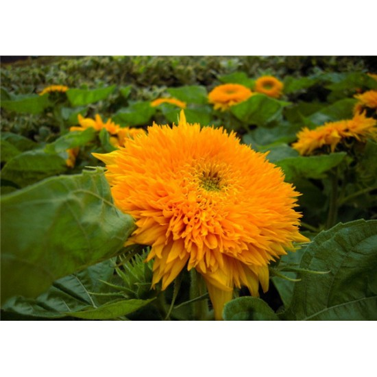 Hạt giống hoa hướng dương xù