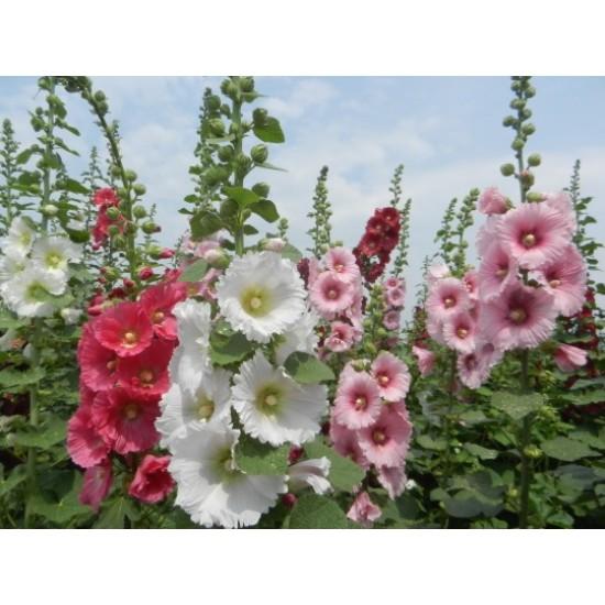 Hạt giống hoa mãn đình hồng
