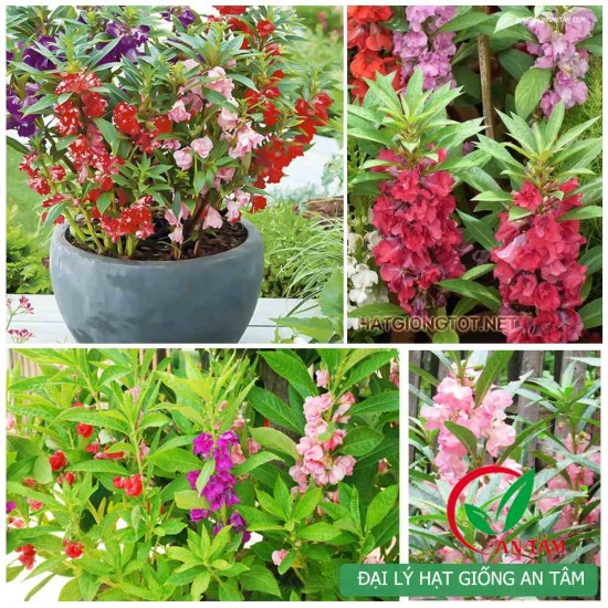 Hạt giống hoa móng tay nhiều màu