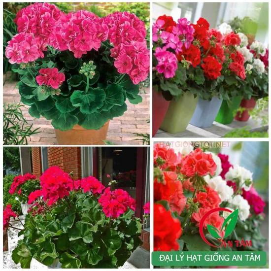 Hạt giống hoa phong lữ thảo mix F1 (Geranium)