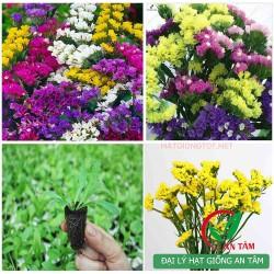 Hạt giống hoa Salem (Limonium)