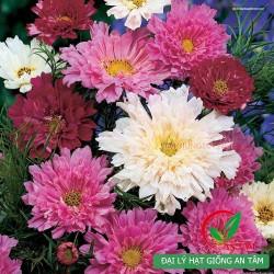 Hạt giống hoa sao nhai kép mix