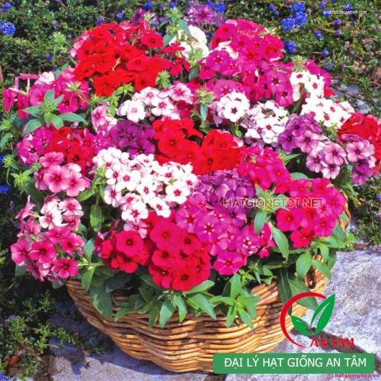 Hạt giống hoa thanh trúc mix