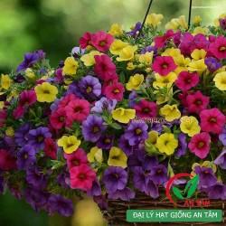 Hạt giống hoa triệu chuông f1 mix