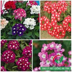 Hạt giống hoa vân anh mix (Verbena)