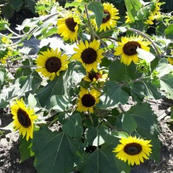 Hạt giống hoa hướng dương