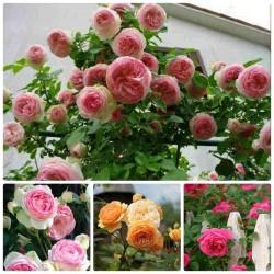 Hạt giống hoa hồng leo mix nhiều màu