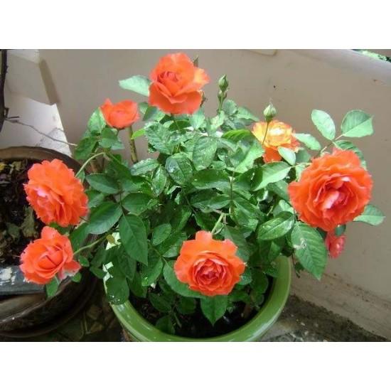 Hạt giống hoa hồng tỉ muội