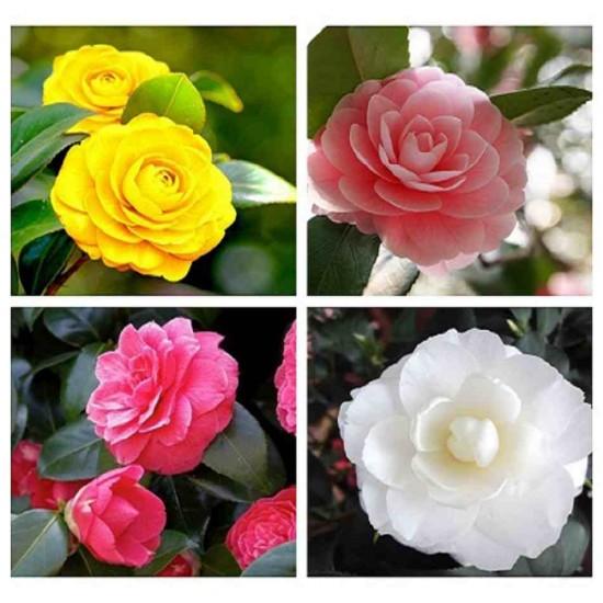 Hạt giống hoa Trà My Nhật mix