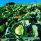 Hạt giống bắp cải xanh chịu nhiệt
