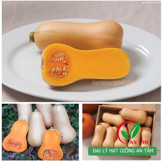 Hạt giống bí đỏ hạt đậu vỏ sáp