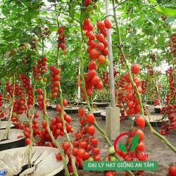 Hạt giống cà chua bi F1