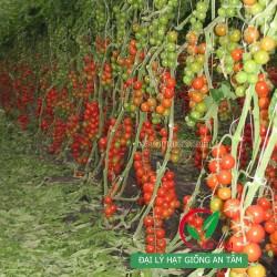 Hạt giống cà chua bi chùm F1