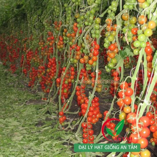 Hạt giống cà chua bi chuỗi ngọc F1