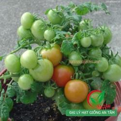 Hạt giống cà chua bi lùn