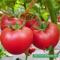 Bán hạt giống cà chua F1