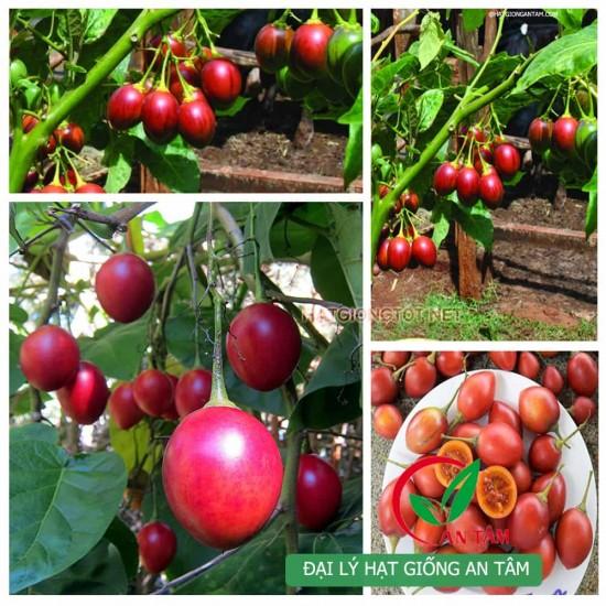 Hạt giống cà chua thân gỗ