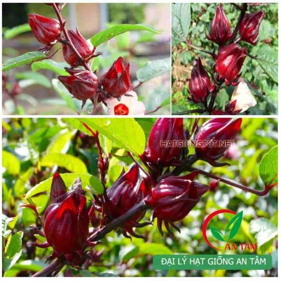 Hạt giống cây bụp giấm(atiso đỏ)