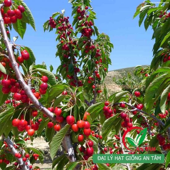 Hạt giống cherry (Anh Đào)