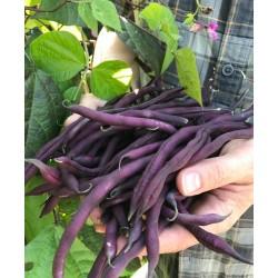 Hạt giống đậu cove tím