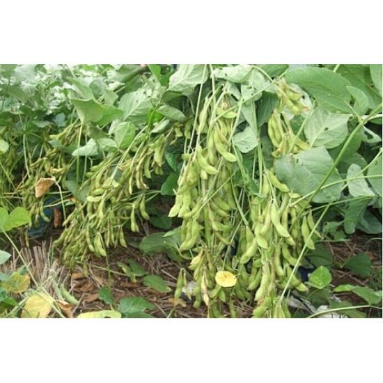 Hạt giống cây đậu tương cao sản