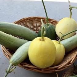Hạt giống dưa lê siêu ngọt da vàng
