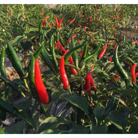Hạt giống ớt chỉ thiên siêu cay giống Nhật Bản