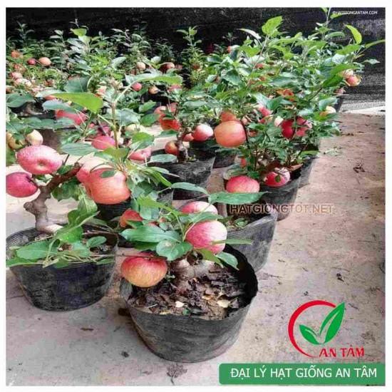 Hạt giống táo tây lùn