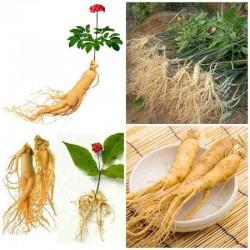 Hạt giống nhân sâm Hàn Quốc