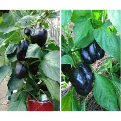 Hạt giống ớt chuông đen