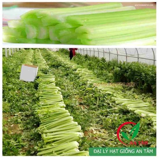 Hạt giống cần tây cọng lớn